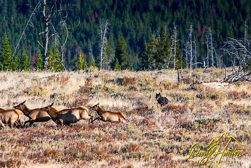 Wolf hunting elk in Yellowstone