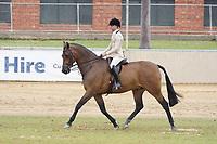 Heavyweight Hunter Horse