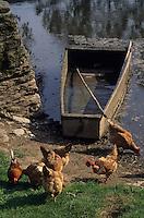 Europe/France/Midi-Pyrénées/12/Aveyron/Vallée de l'Aveyron/Belcastel : Poules sur les bords de l'Aveyron