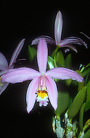 Laelia jongheana, aka Cattleya jongheana, orchid species, pink flowers, Jonghe's Sophronitis, is a species of orchid endemic to Brazil.