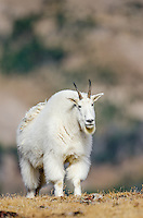 Mountain Goat Billy (Oreamnos americanus) in the Beartooth Mountains of Southern Montana/Northern Wyoming.  Late Sept.