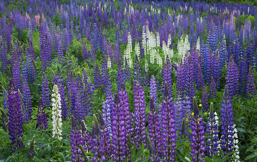 Lupine field in Sugar Hill, New Hampshire
