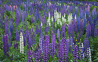 Lupine field in Sugar Hill, New Hampshire