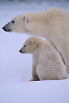 Portrait of a mother polar bear and her cub.