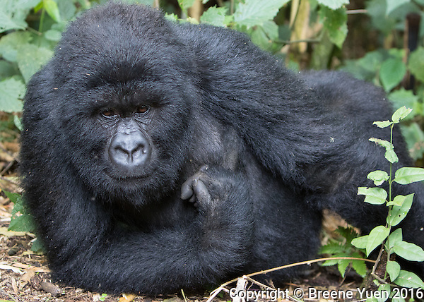 Gorilla Bedroom Eyes Rwanda 2015