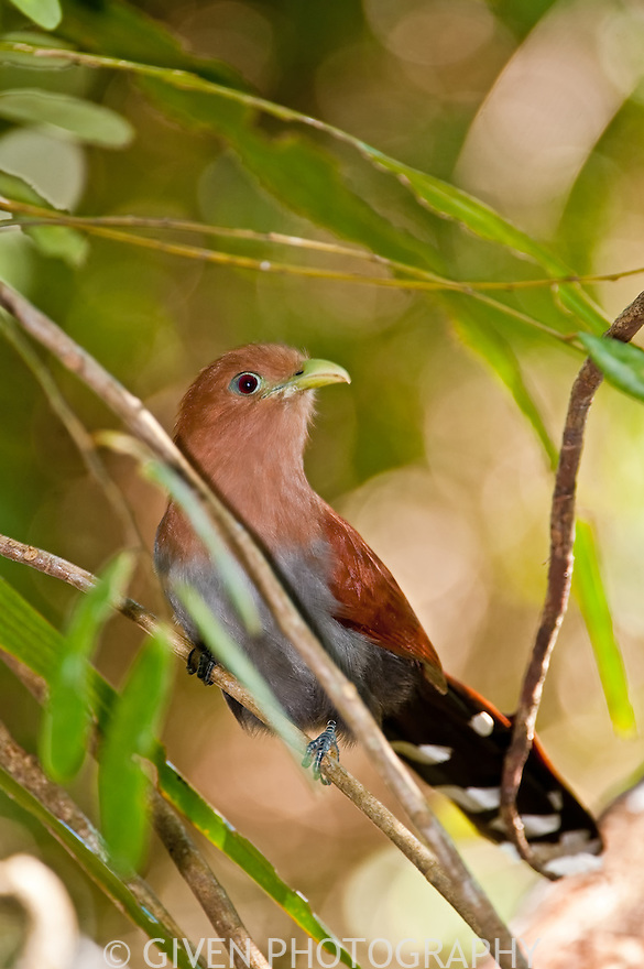 Squirrel Cuckoo, Belize