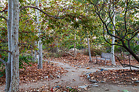 Platanus racemosa, California Sycamore trees in fall with autumn leaves by path and bench; Arlington Garden, Pasadena
