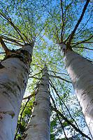 Upward perspective of aspen trees at the Sleeping Bear Dunes National Lakeshore in Michigan.