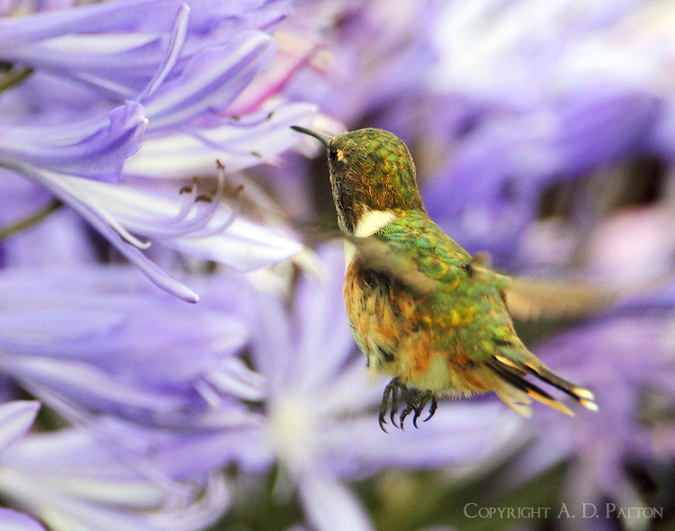 Male volcano hummingbird at flowers