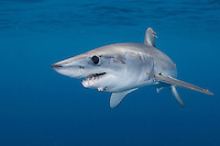 Shortfin Mako Shark - Isurus oxyrinchus. San Diego, California, eastern Pacific Ocean.