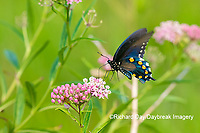 03004-01618 Pipevine Swallowtail (Battus philenor) on Swamp Milkweed (Ascelpias incarnata) Marion Co. IL