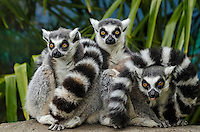 "Ring-tailed Lemurs (Lemur catta) huddled together in what is called a ""Lemur ball"" on cool mornings."