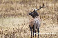 01980-03006 Elk (Cervus elaphaus) bull male, Yellowstone National Park, WY