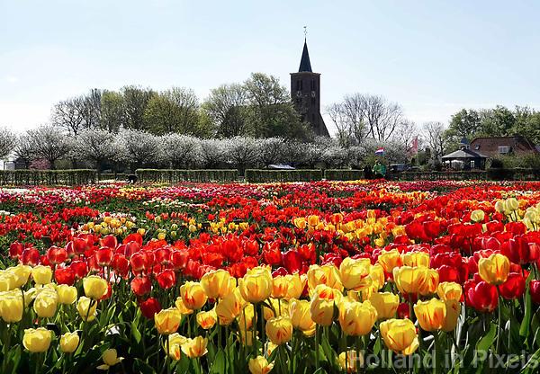 Nederland Limmen 2018.  Niet alleen in Keukenhof zijn bijzondere tulpen te zien. In Noord-Holland ligt de Hortus Bulborum. In de tuin staan meer dan 4000 soorten bloemen. De hortus, waarin voornamelijk tulpen en narcissen staan, is in 1928 opgericht. De Hortus Bulborum is een proeftuin, waar nieuwe soorten worden gekweekt.  Op de achtergrond de Protestantse kerk van Limmen. Foto Berlinda van Dam / Hollandse Hoogte