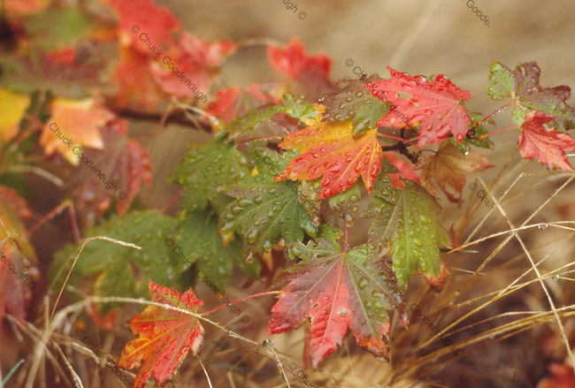 Photo of green red, brown yellow and orange leaves amidst brown grasses afer a fall rain. Oregon Vine Maple