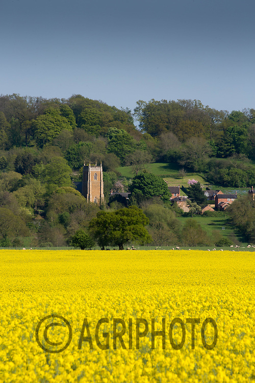 Oilseed rape in flower<br /> &copy;Tim Scrivener Photographer 07850 303986<br /> ....Covering Agriculture In The UK....