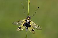 Langfühleriger Schmetterlingshaft, Langfühler-Schmetterlingshaft, Libelloides longicornis, Ascalaphus longicornis, owlfly, l'Ascalaphe commun, Ascalaphe ambré, Schmetterlingshafte, Ascalaphidae, owlflies
