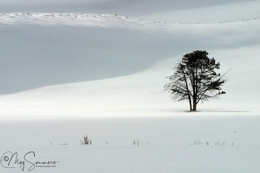 This tenacious tree in Hayden Valley withstands the onslaught of wind and snow for months on end.