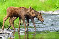 Twin baby moose venutre into the Ninilchik River during a gorgeous summer day on Alaska's Kenai Peninsula.