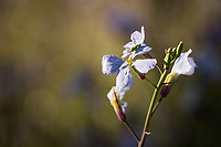 Wild radish flowers, white with purple veins, glow in late afternoon sunlight, while a green critter explores the northern petal.
