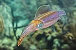 Sepioteuthis sepioidea, Caribbean reef squid, Roatan