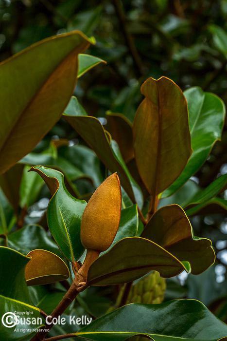 The fruit of the Magnolia Grandiflorum tree at the Arnold Arboretum, Boston, Massachusetts, USA