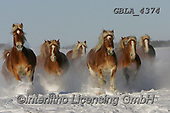 Bob, ANIMALS, REALISTISCHE TIERE, ANIMALES REALISTICOS, horses, photos+++++,GBLA4374,#a#, EVERYDAY