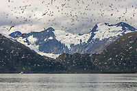 Black-legged kittiwakes fly in a flock in  Passage Canal, Prince William Sound, Alaska