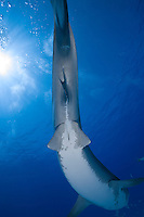 RW4047-D. Tiger Shark (Galeocerdo cuvier), female swimming overhead. Note that this view from underneath shows the pelvic fin region. In adult males, claspers (finger-like extensions of the pelvic fin edge which function similarly to a penis) will be obvious. Bahamas, Atlantic Ocean.<br /> Photo Copyright &copy; Brandon Cole. All rights reserved worldwide.  www.brandoncole.com