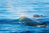 Sperm whale (physeter macrocephalus) Eastern Caribbean. A sperm whale and a pantropical spotted dolphin, Stenella attenuata