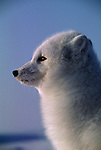 Portrait of an Arctic Fox in profile.