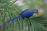 Hyacinth Macaw (Anodorhynchus hyacinthinus),adult perched on palm leaf, Pantanal, Brazil, South America