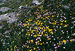 Pinnate-leaved daisy (Erigeron pinnatisectus) and daffodil arnica (Arnica latifolia) growing in a subalpine meadow, Rocky Mtn Nat'l Park, CO