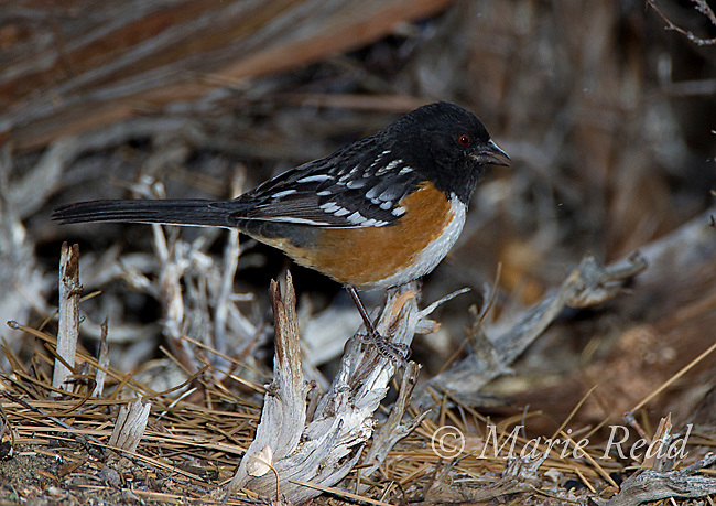 Spotted Towhee (Pipilo maculatus) male, Mono Lake Basin, California, USA