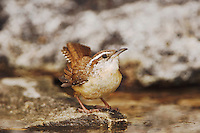 Carolina Wren, Thryothorus ludovicianus, adult bathing, Uvalde County, Hill Country, Texas, USA, April 2006