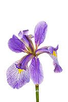 30099-00419 Blue Flag Iris (Iris versicolor) (high key white background) Marion Co. IL