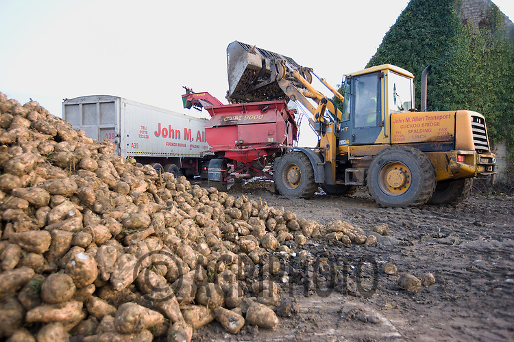 A transport company loads beet to take to the factory