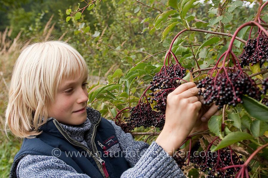 Schwarzer Holunder, Kind erntet reife Holunderbeeren, Fliederbeeren, Sambucus nigra, Common Elder, Elderberry, Sureau commun, Sureau noir