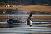 A large bull Killer Whale or Orca (Orcinus orca ) surfaces off the San Juan Islands in Washington, USA.