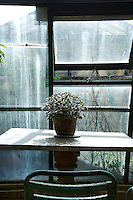 A pot of purple flowering sage bathes in the sunlight through the greenhouse windows