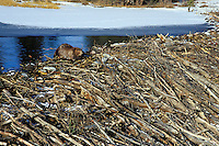 Beaver (Castor canadensis) working on beaver dam, early winter.