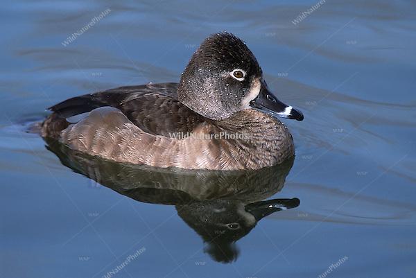 Ring-necked Duck, Aythya collaris, female; Agua Caliente Park, Arizona