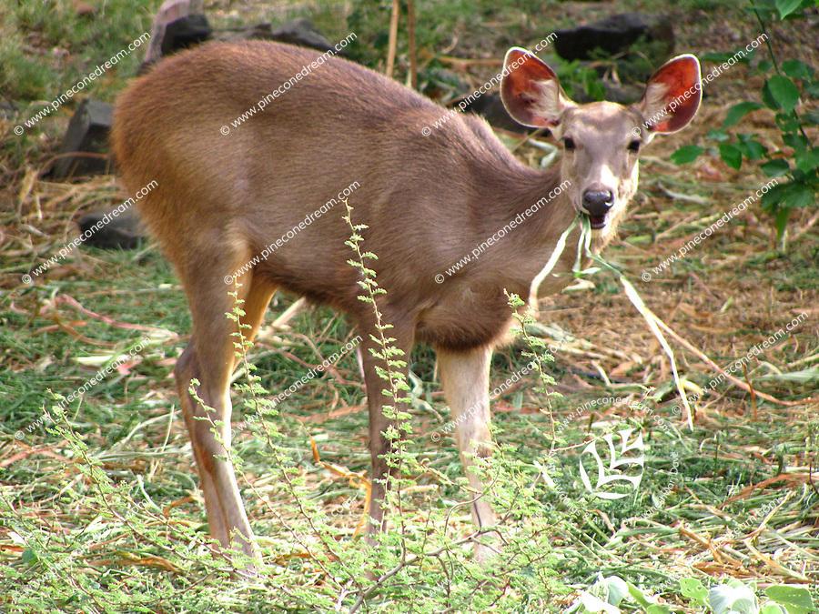 Cute innocent looking deer with grass in the mouth grazing in forest