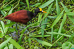 The very long toes of the Northern Jacana, Jacana spinosa, allow it to walk on water plants while foraging for insects, snails, worms, small crabs, fish, mollusks, and seeds in Tortuguero National Park, Costa Rica.