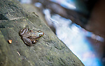 A southern leopard frog sits on a rock over oil streaked waters where three storm water drains from the area around the intersection of Route 2 and Forest Drive in Parole empty into a stream that soon leads to the Severn River.