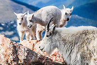 A Mother Mountain Goat poses for a moment with her three kids, high atop Mt. Evans, Colorado.