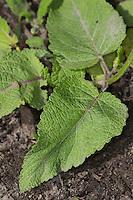 Wiesen-Salbei, Wiesensalbei, Salbei, Blatt, Blätter vor der Blüte, Salvia pratensis, Meadow Clary
