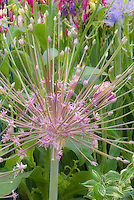Allium schubertii in spiky flowers, ornamental onion summer flowering bulb