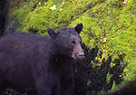 black bear at Anan Creek