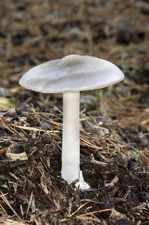 Stubble Rosegill - Volvariella gloiocephala